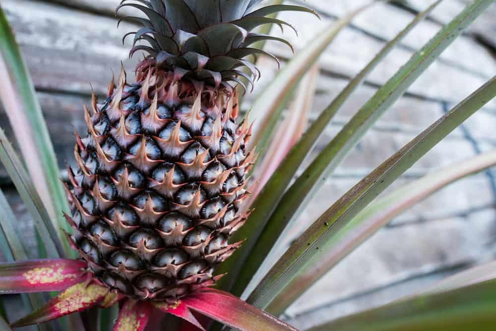 Patio pineapple